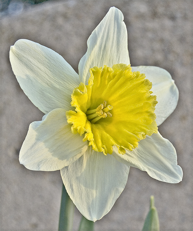 Jonquil Flower Drawing Nonesuch Daffodil Narcissus